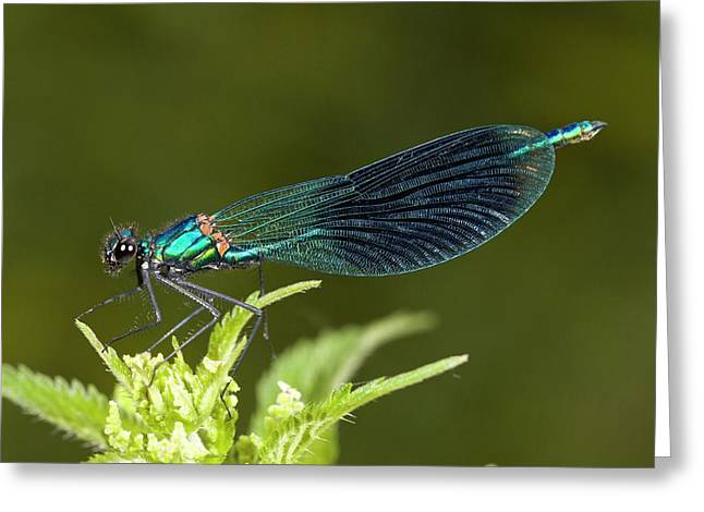 Male Banded Demoiselle Damselfly Greeting Card by Bob Gibbons
