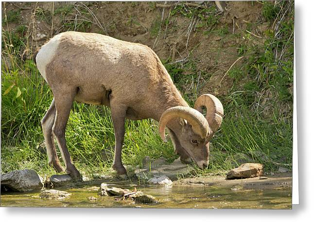 Male Bighorn Sheep, Drinking, Gardner Greeting Card