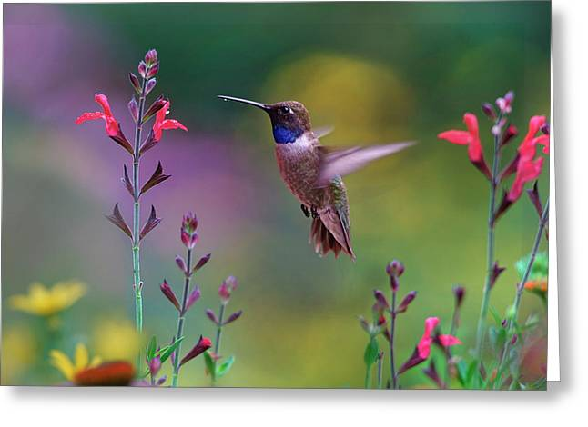 Male Black-chinned Hummingbird Greeting Card
