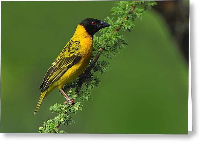 Male Black-headed Weaver Greeting Card by Tony Beck