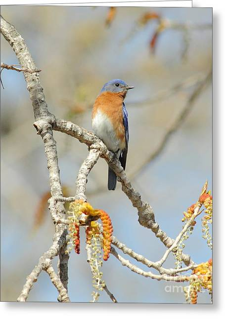 Male Bluebird In Budding Tree Greeting Card by Robert Frederick