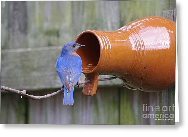 Male Bluebird Greeting Card by Tannis  Baldwin