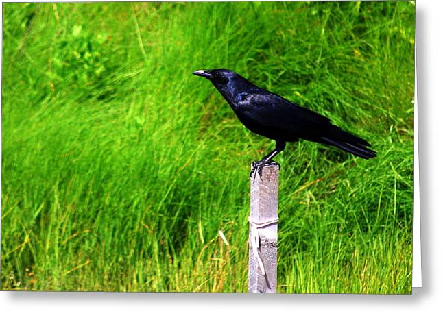Male Boat-tailed Grackle Greeting Card by Mary Beth Landis