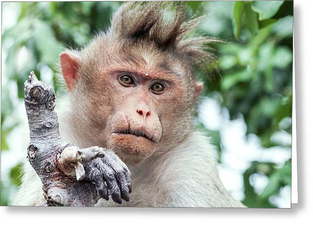 Male Bonnet Macaque Greeting Card