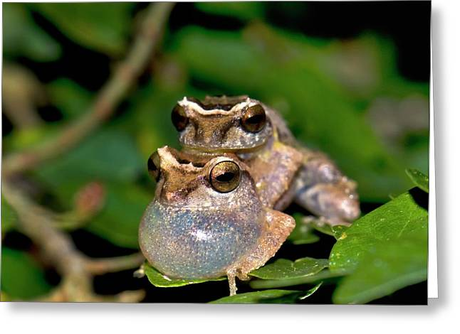 Male Bush Frogs Greeting Card