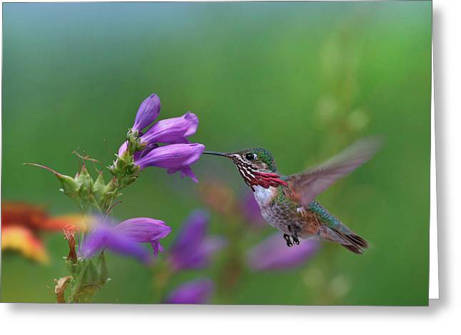 Male Calliope Hummingbird (selasphorus Greeting Card