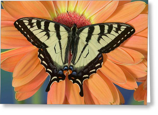 Male Canadian Tiger Swallowtail Greeting Card