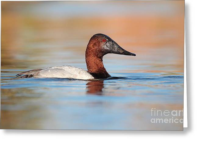 Male Canvasback Greeting Card by Ruth Jolly