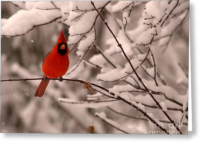 Male Cardinal In Snow Greeting Card by Jane Axman
