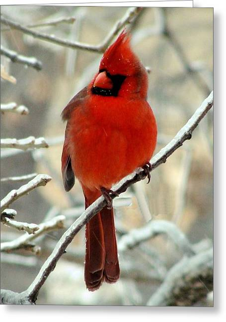 Greeting Card featuring the photograph Male Cardinal  by Janette Boyd