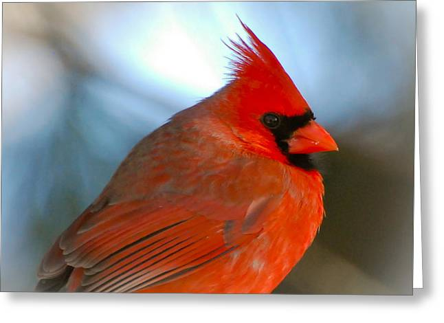 Greeting Card featuring the photograph Male Cardinal  by Kerri Farley