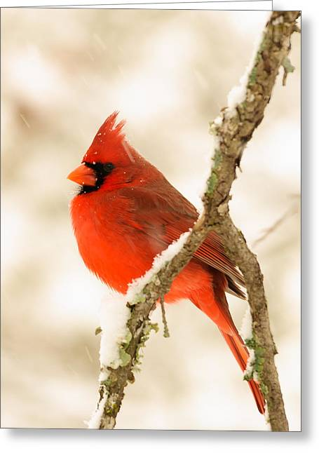 Male Cardinal Greeting Card by Thomas Pettengill