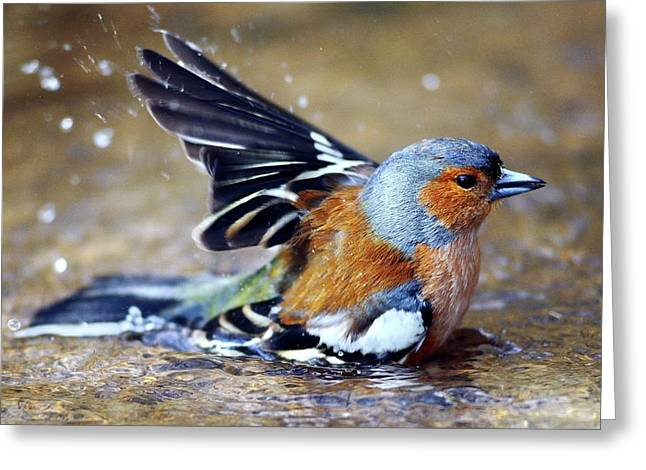 Male Chaffinch Bathing Greeting Card