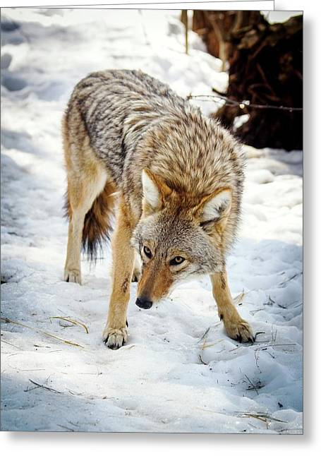 Male Coyote In Snow Greeting Card by Paul Williams