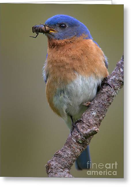 Male Eastern Bluebird With Spider Greeting Card by Jerry Fornarotto