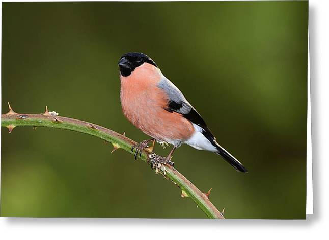 Male Eurasian Bullfinch Greeting Card by Colin Varndell