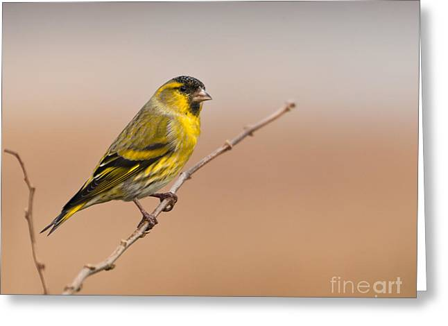 Male Eurasian Siskin Greeting Card