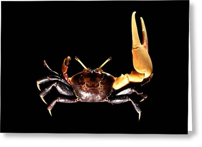 Male Fiddler Crab Greeting Card