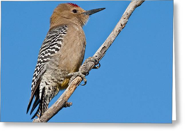 Male Gila Woodpecker Greeting Card