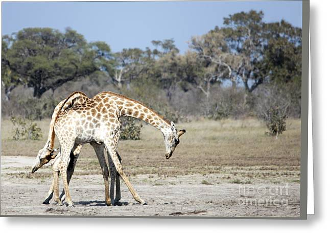 Male Giraffes Necking Greeting Card