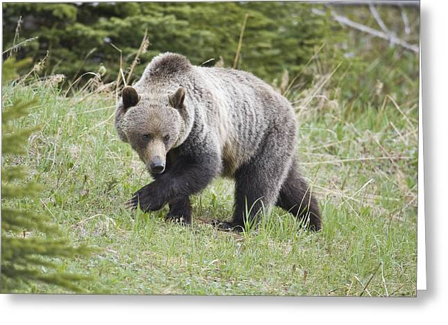 Male Grizzly In Kananaskis Greeting Card