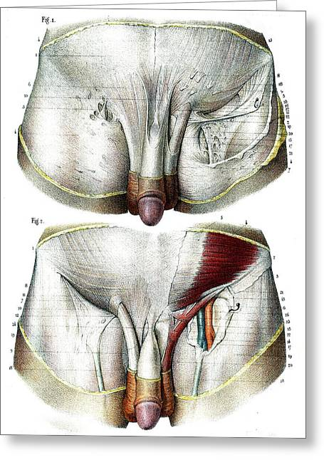 Male Groin Anatomy Greeting Card by Collection Abecasis