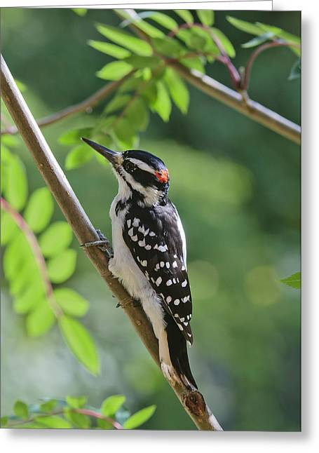Male Hairy Woodpecker Picoides Villosus Greeting Card by Kenneth Whitten