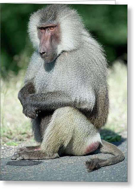 Male Hamadryas Baboon Greeting Card