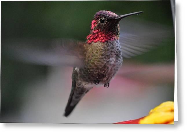 Male Hummingbird Anna In Flight Greeting Card by Jay Milo