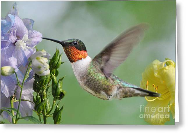 Male Hummingbird Greeting Card