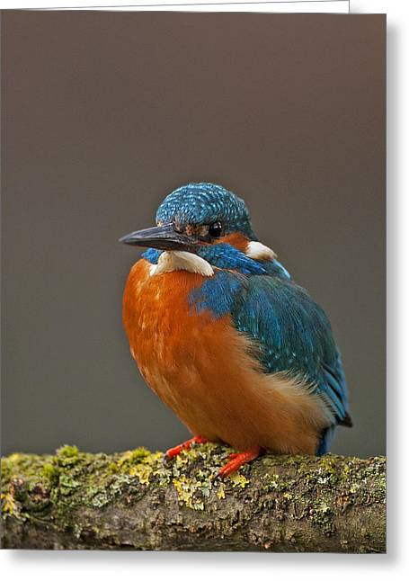 Male Kingfisher Greeting Card