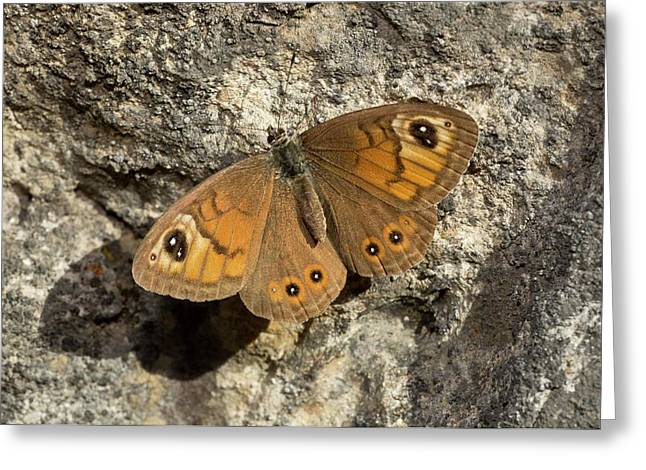 Male Large Wall Brown Butterfly Greeting Card by Bob Gibbons