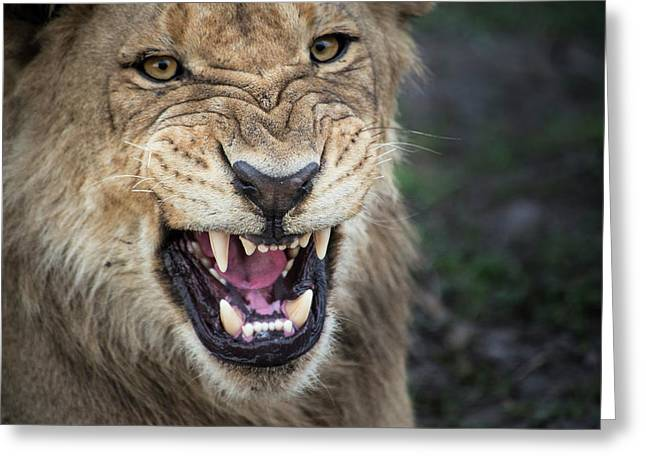 Male Lion Growling, Close Up (large Greeting Card by Sheila Haddad