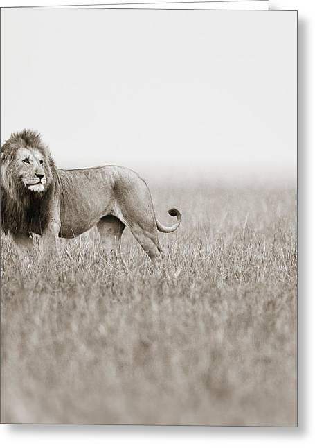 Male Lion II Masai Mara Kenya Greeting Card by Regina Mueller