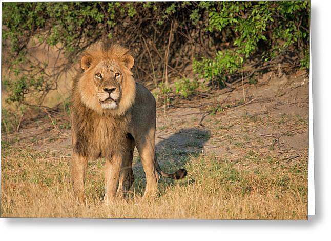 Male Lion Looking At Viewer,in Greeting Card by Sheila Haddad