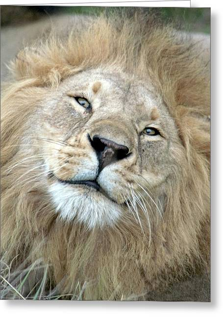 Male Lion Panthera Leo, Masai Mara Greeting Card