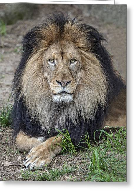 Male Lion Portrait Greeting Card