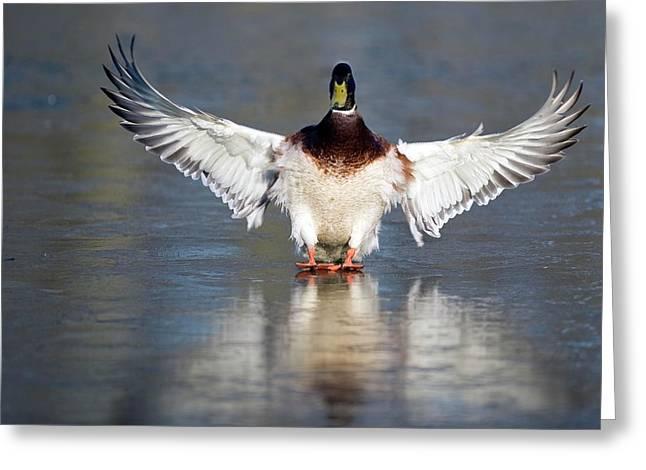 Male Mallard Landing On Water Greeting Card by Bildagentur-online/mcphoto-rolfes