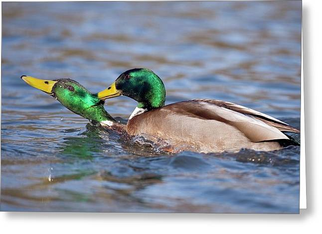 Male Mallards Fighting Greeting Card by Bildagentur-online/mcphoto-rolfes