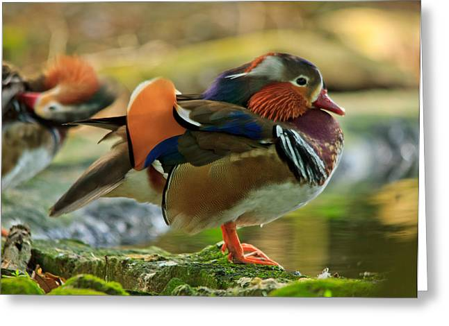Greeting Card featuring the photograph Male Mandarin Duck On A Rock by Eti Reid