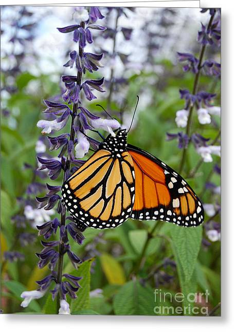 Greeting Card featuring the photograph Male Monarch Butterfly  by Eva Kaufman