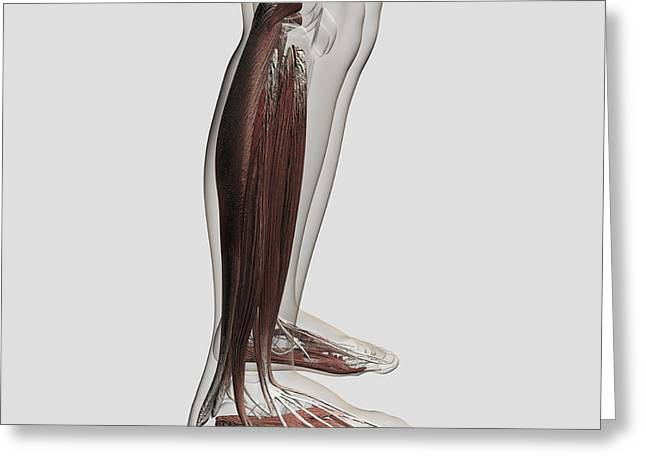 Male Muscle Anatomy Of The Human Legs Greeting Card by Stocktrek Images