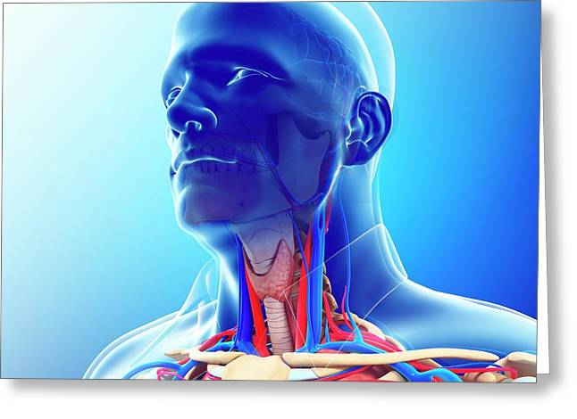 Male Neck Blood Vessels Greeting Card by Pixologicstudio/science Photo Library