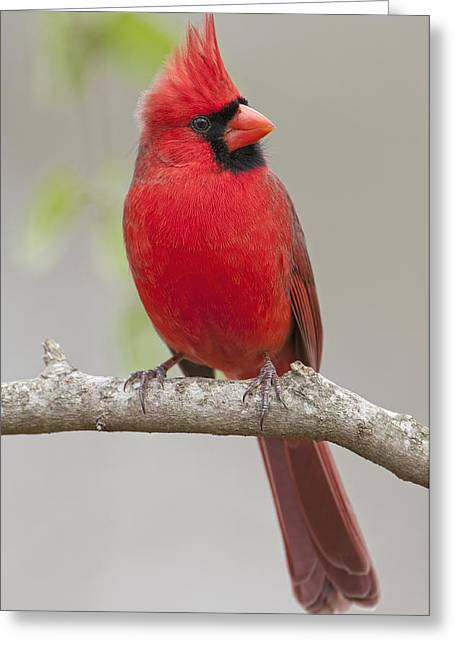 Male Northern Cardinal In January Greeting Card by Bonnie Barry