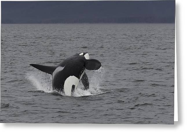 Male Orca Breaching Greeting Card by Lisa Hufnagel