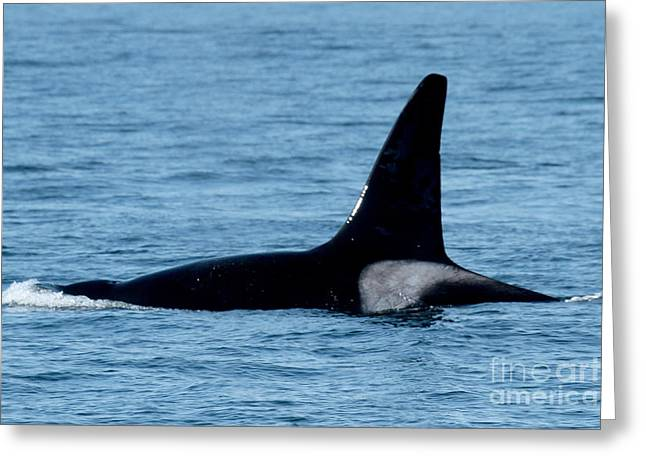 Greeting Card featuring the photograph Male Orca Killer Whale In Monterey Bay 2013 by California Views Mr Pat Hathaway Archives