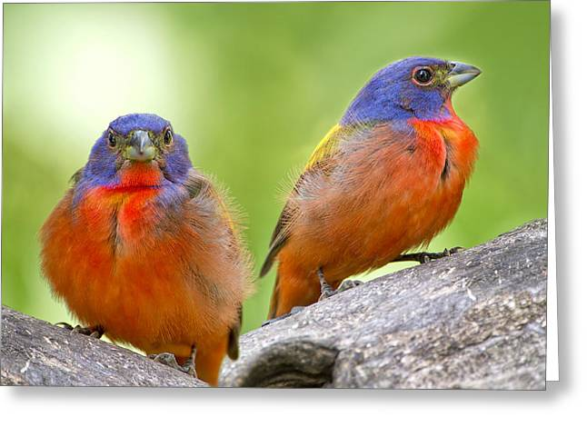 Male Painting Buntings Greeting Card by Bonnie Barry