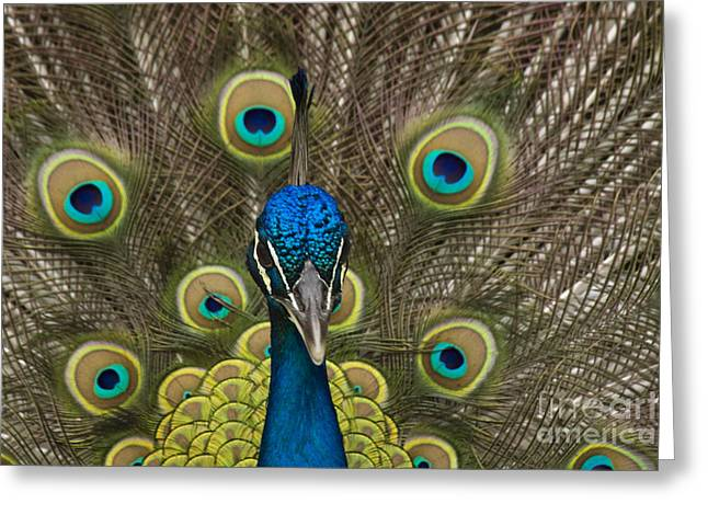 male Peacock close up Greeting Card by Darleen Stry