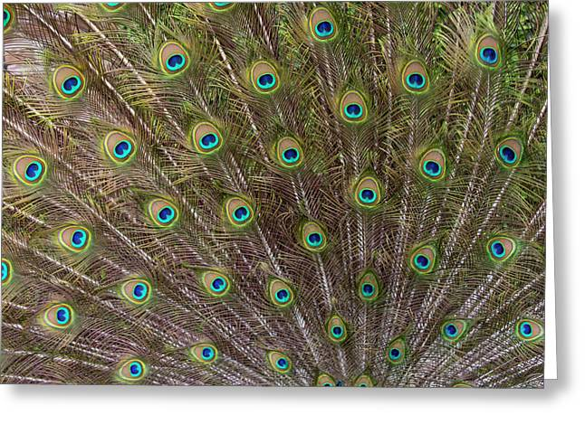 Male Peacock With Fanned Out Tail Greeting Card