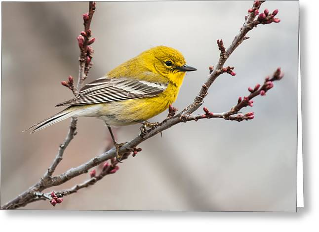 Male Pine Warbler 2 Greeting Card